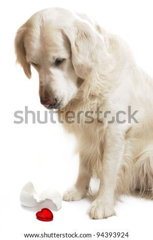 a golden retriever dog looking down at red heart with egg shell over white background - stock photo