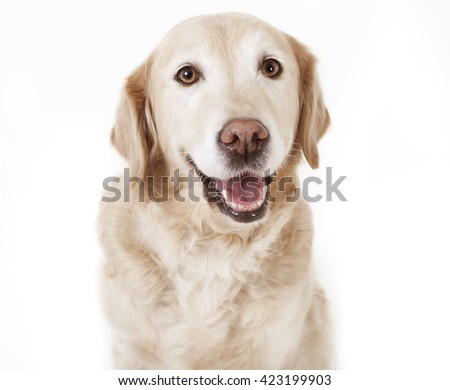 a golden retriever dog looking with open mouth at the camera, background white, isolated