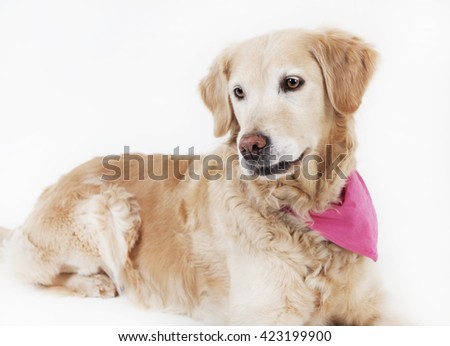 a golden retriever dog lying with a pink towel around her neck, background white, isolated