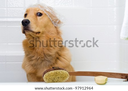A golden retriever dog preparing for a bath.  He has an unhappy expression on his face and is wearing a shower cap with a bar of soap and a scrub brush ready to go. - stock photo