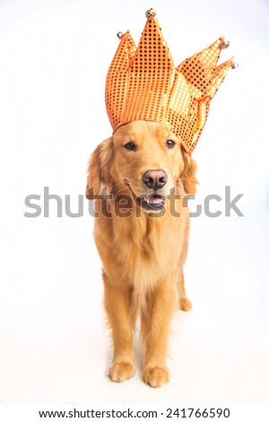 A golden retriever dog wearing a jester hat - stock photo