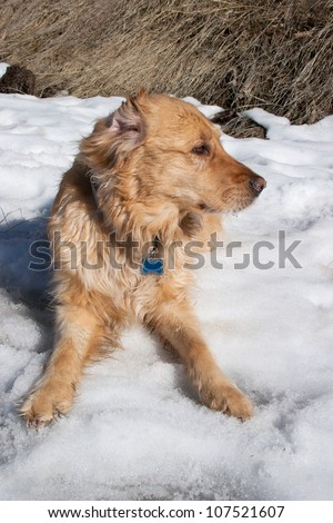 A golden retriever in the snow/golden Retriever/Great Dog