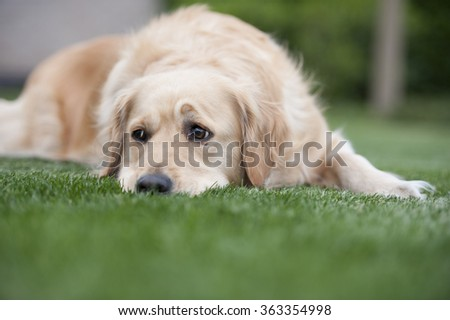 a golden retriever is pondering in the grass - stock photo