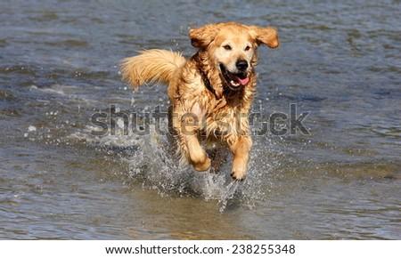 A golden retriever / labrador runs in the sea water. - stock photo