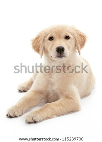 A Golden Retriever puppy relaxing on floor Puppy looking at the camera - stock photo