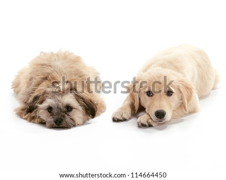 A Golden Retriever puppy relaxing on floor Puppy looking at the camera and Shih Poodle mix looking sad