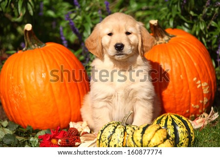A Golden Retriever puppy sits among some pumpkins and gourds in this Autumn themed photo. - stock photo