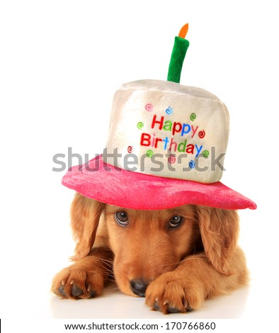 A golden retriever puppy wearing a happy birthday hat.  - stock photo
