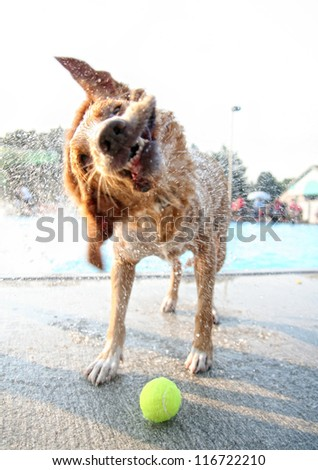 a golden retriever type dog shaking water off at a pool - stock photo