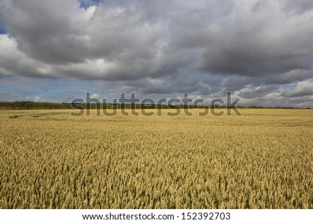 a golden ripening wheat field in the yorkshire wolds england under a dramatic thundery sky in summer