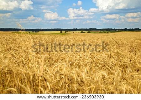 A golden wead field landscape in autumn - stock photo