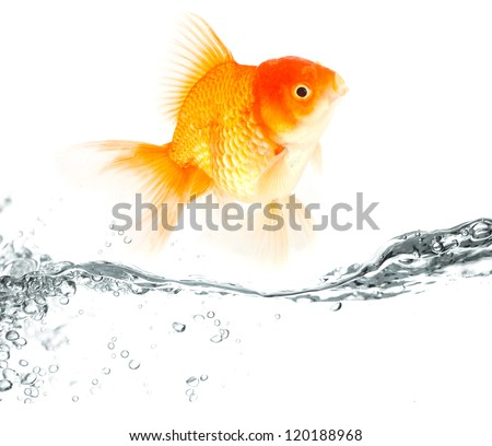 A goldfish is jumping out of the water. Isolated on a clean white background. - stock photo