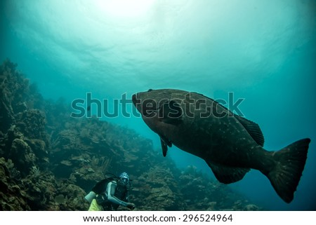 A goliath grouper swims up the reef - stock photo