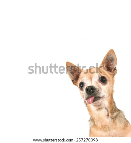 a goofy with his tongue hanging out  - stock photo