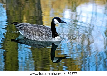 a goose with reflection taken in a pond in wisconsin - stock photo