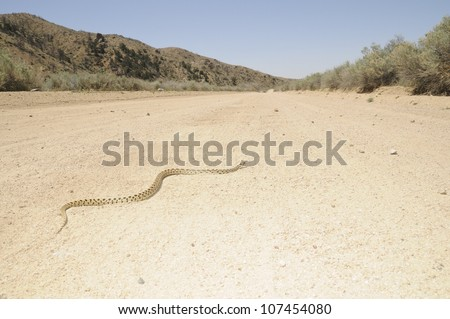 A gopher snake crossing a dirt road in the Mojave National Preserve. - stock photo