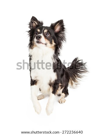 A gorgeous Chihuahua Mixed Breed Dog sitting while looking up and off to the side and about to jump up - stock photo