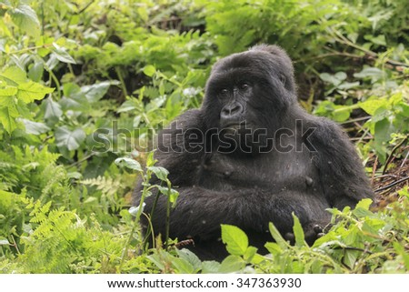 A gorilla in the jungle in Rwanda