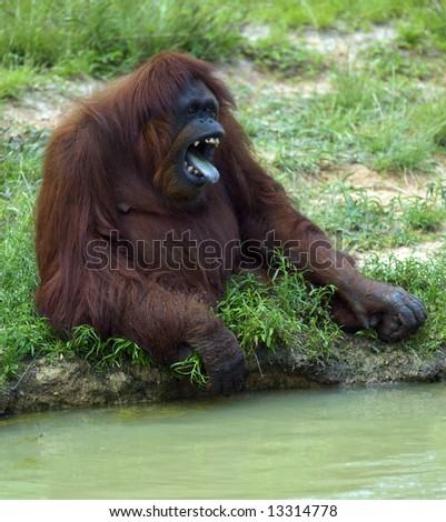 A Gorilla yells and make a menacing face - stock photo