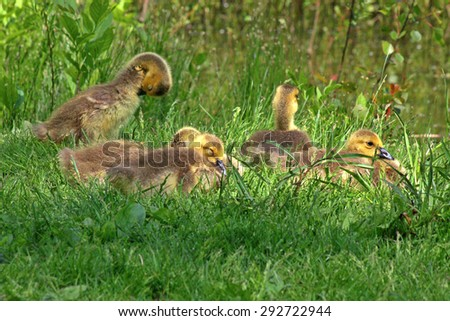 A gosling in grass. - stock photo