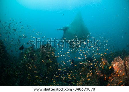 A graceful reef manta gliding past a reef alive with fish - stock photo