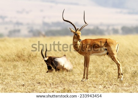 A Grant's Gazelle (Nanger granti) on the Masai Mara National Reserve safari in southwestern Kenya. - stock photo