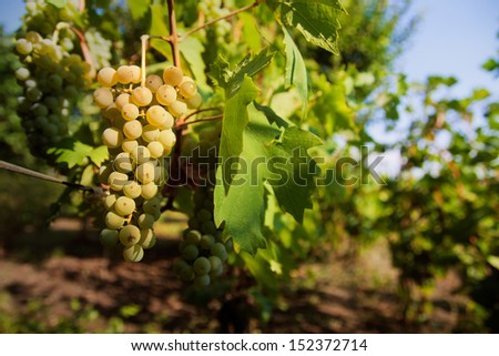 A grape in vineyard - stock photo