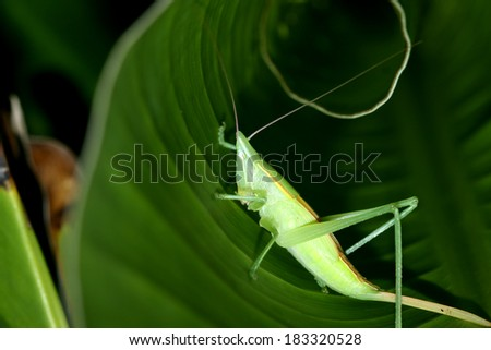 A grasshopper on leaf