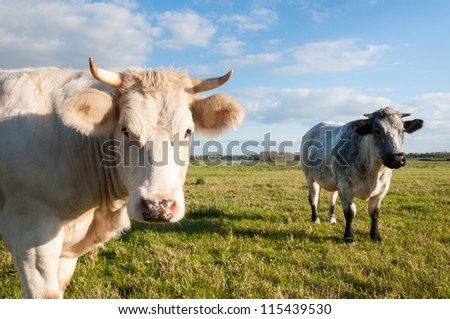 A gray and a blonde cow with horns together in the meadow. - stock photo