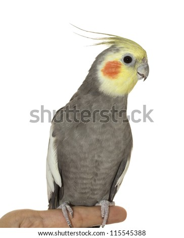 A gray cockatiel close-up with him standing on a hand. - stock photo