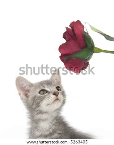A gray kitten investigates a red, artificial flower