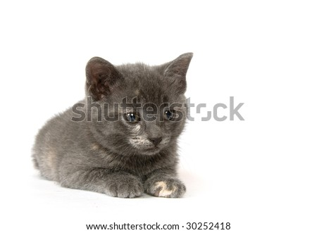 A gray kitten laying down on a white background