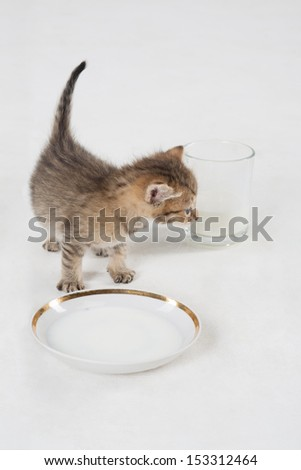 A gray kitten near the saucer and a glass mug of milk on the floor - stock photo