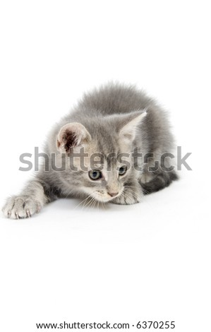A gray kitten plays on a white background - stock photo