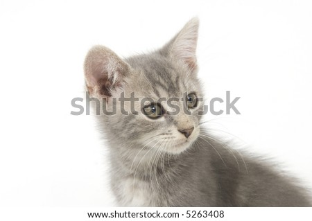 A gray kitten sitting on a white background