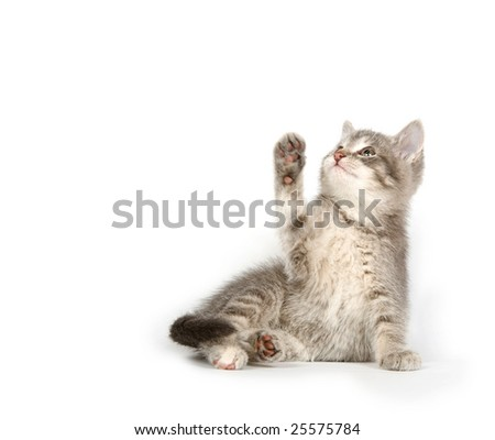 a gray kitten swinging its paw on a white background