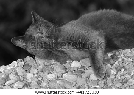 A Gray Outdoor Car Cleaning its Paws on a Pile of Rocks. This Image Was Edited into Black and White - stock photo