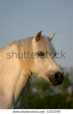 A gray pure white welsh pony looking curiously at the viewer