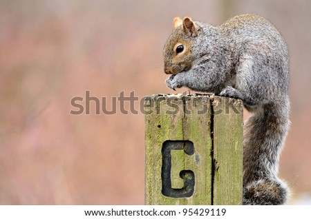A gray squirrel perched in a post eating bird seed.