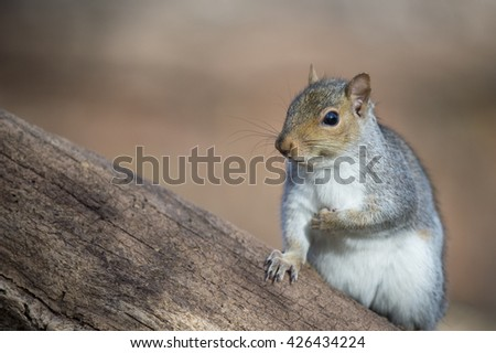 A Gray Squirrel poses for a moment on a large tree.