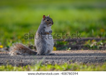 A gray squirrel stands on a lawn attentive to its surroundings. - stock photo