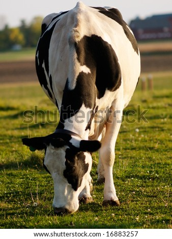 A grazing cow on a green farm field - stock photo