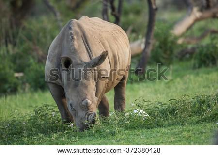 A grazing white rhinoceros in a green grassland - stock photo