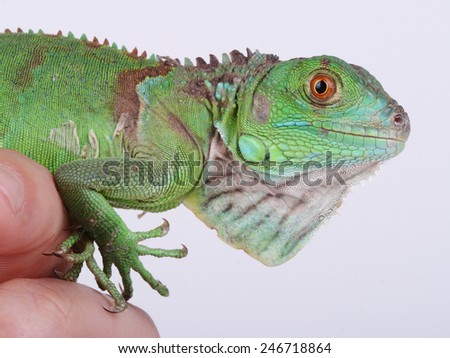 A great and beautiful green iguana - stock photo