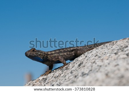 A Great Basin fence lizard (Sceloporus occidentalis longipes), commonly known as a blue-belly, suns itself on a granite boulder.   - stock photo