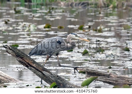 A Great Blue Heron at a pond, with lily pads, and water in the background.