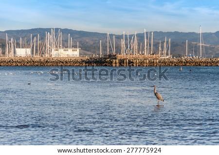 A Great Blue Heron at Half Moon Bay, California. - stock photo