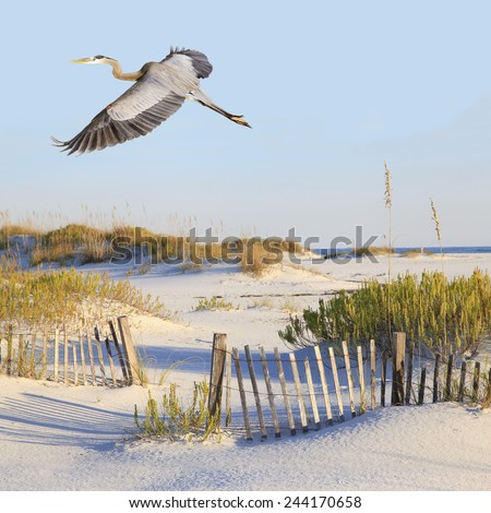 A Great Blue Heron Flies Over a Beautiful White Sand Beach - stock photo