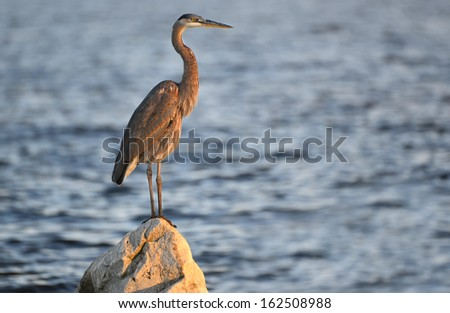A Great Blue Heron gazes over the Chesapeake Bay in Maryland at sunset - stock photo