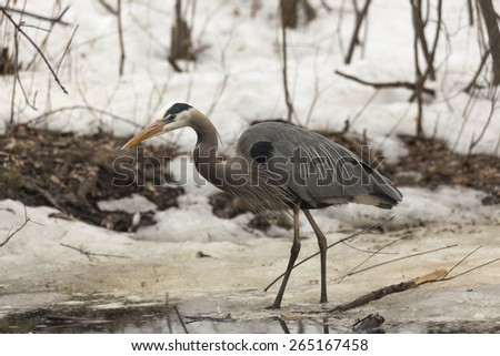 A Great Blue Heron in spring - stock photo